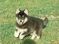 SIBERIAN HUSKIES AKC full registration I have  2 females beautiful black gray and white 45000 8