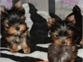 Here are our gorgeous bundle of fun Who make excellent family petsI have mum an dad they are both