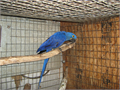 Beautiful male macaw great feather good temperament he was breeder but good pet potential for rig