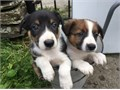 Beautiful lively and intelligent puppies - ready for a perfect and loving home from the 2nd of Octo
