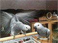 Selling my super tame hand reared African grey babies closed rung with cities Been brought up in a