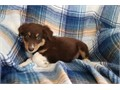 Humble Australian Shepherd Pups for good and caring homes
