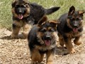 German shepherd puppies ready for rehousingcontact via number for more information