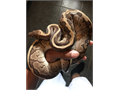 Female Jigsaw Ball Python Eats Well And Tame A Puppy Feel Free To Ask Any Questions Or Make Any Of