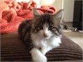 I have a Maine Coon kitten boy ready for his new home His dad is full Maine Coon and mum is 34 Mai