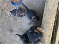 Mixed breed puppies mother is heeler mix and father is Bassett hound mix Mother also trees squirre