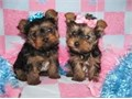 Gorgeous Tiny Yorkie Puppies  Very Playful and friendly Home breed and well so