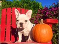 Jack is a Powerful male Frenchie He is built like a Truck and he is AKC registered Jack has his