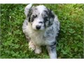 4 Super cute Aussiedoodle  puppies are looking for a forever loving home  We only have 4 left now
