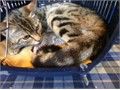 Gorgeous Bengal X kittens 10 weeks old Friendly energetic  confident Kittens  Looking for loving