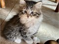 Beautiful Kittens part Persian  Part Siberian Males and Females and Lots of different colors oran