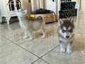 We have two amazing Siberian husky puppies a male and female They are registered with AKC Our fam