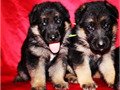 GERMAN SHEPHERD PUPPIES CKC PEDIGREE Amazing Tempermant Dam  Sire Onsite Born 5716 Now Taking