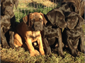 Registered ICCF Cane Corso Puppies for sale Puppies are 14 weeks old utd on shots and dewormed Pu