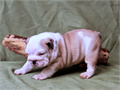 AKC reg This little lady is a tan brindle and white with a perfect mask She is going to be a beau