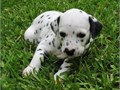 Active Dalmatian Pups BoyGirls  10weeks old  vaccinated and come papers interested Textcall 5