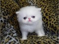 White PERSIAN kittens with odd eyes and blue eyes  CFA registered with CFA Champion parents  Healt