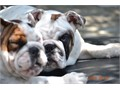 English Bulldog 7 months old white with1 patched eye and lots of spotsAKC registeredvery active