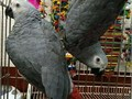 African grey parrots for saleVery tame they say many words hello when you come close to them by