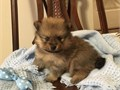 Cute Pomeranian Puppies for Re-homingCute Pomeranian Puppies availble to good homes AKC registere