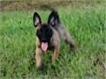 Working line pups 8 weeks great potential for both Working or sport homesText is preferred