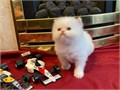 Pure breed cute Persian kittens now available to join a new homeThey are all in good health conditi