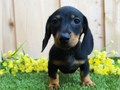 able Miniature Dachshund puppies availableThese puppies akc registered  vet checked and will come