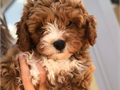Our 2 year old Cavachon Stella is Very Loving Sweet  Gentle  our Family pet With a Fantastic Tempe