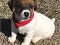 gfjkfdjkdf Jack Russel Puppies For Adoption CALLTEXT 2134197515 for more info and pics