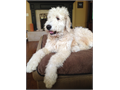 Thor is a gorgeous white F1 Goldendoodle born on December 28 2014 in Perris CA He weighs 101 pou