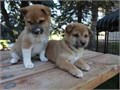 Shiba Inu Puppies Ready for their new forever homes Now FOR MORE INFORMATION AN