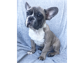 Blue tan french bulldogs male was born 11302016 shots up to date dewormed crate and pad train