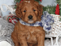 SUPER CUTE MINI GOLENDOODLES16-22 pounds full grownshots and deworming up to datepotty traine