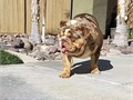 STUD SERVICE ONLY NOT FOR SALE Krunch is a amazing chocolate tri merle blue carrier quality  stud