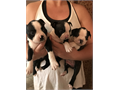 Boston Terrier puppies  Taking deposits now females 1300 males 1000 First vet check done will