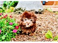 London is a Stunning Chocolate female Havanese She is 8 weeks old and Healthy This girl has her up