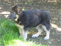 AKC Purebred German Shepherd Puppies  BlkTan Parents on site  Vet checked shots and wormed  Per