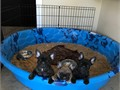 AKC French bulldog puppies 9weeks ready to go to a new home all shots UTD AND Dewormed we have 2 faw