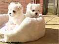 Maltese puppies need loving home Current on shots and doing well on housebroke Use doggy door Wou