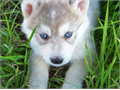 READY for Christmas  F3 Husky Hybrid pups very dark to white silvers Blue gold eyes M700 F800 dep