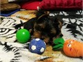 Beautiful teacup yorkie puppies availablevet and up to datefine withkids and other petsand come