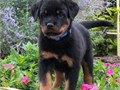 Male and female Rottweiler puppies for pet lovers They are 12 weeks old vet checked dewormed and