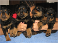 Loyal Smart Rottweiler PupsComes from a wonderful family of Rottys they are well socialized Fami