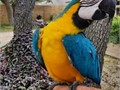 Very cute intelligent and trained social talking blue and gold macaw parrot for re-hominglola is s