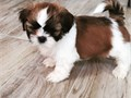 Nice looking male and female shih tzu puppies they are well trained  vet checked and good companion