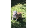 Adorable American Bulldog PuppiesBoys and Girls AvailableVery Healthy puppiesGreat Colors  ma