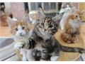 text  317-207-6791 Maine coon kittens available  male and female 3 months old  vaccinated  pape