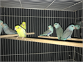 Beautiful Blue Yellows American Whites Pied  Fallow Parrotlets Starting at 100 and up I have
