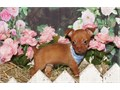 chorkie puppies tiny