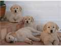 Cute Golden Retriever Puppies 2 males and 2 females available  shots and deworming up to date 8 w